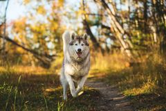 Image of funny dog breed Siberian husky running on the path in the bright fall forest. Image of funny and happy dog breed Siberian husky jumping on the bright stock photos