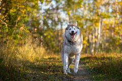 Image of funny dog breed Siberian husky running on the path in the bright fall forest. Image of happy dog breed Siberian husky jumping on the bright yellow royalty free stock photo