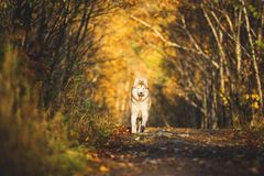 Image of funny and happy dog breed Siberian husky running on the path in the bright golden autumn forest. Portrait of happy and funny dog breed Siberian husky stock photography