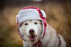 Portrait of Funny husky dog is in warm cap with ear flaps. Close-up portrait of lovely dog breed siberian husky. Image of Funny husky dog is in warm cap with ear royalty free stock photo