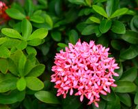 Image gentille des fleurs roses de floraison de transitoire photo libre de droits