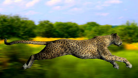 The image of a gepard Royalty Free Stock Images