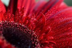 Gerbera in red covered by water drops Stock Images