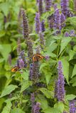 Anise hyssop. Image of giant Anise hyssop Agastache foeniculum in a summer garden royalty free stock photo