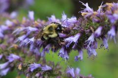 Image of giant Anise hyssop Agastache foeniculum in a summer garden.  royalty free stock images