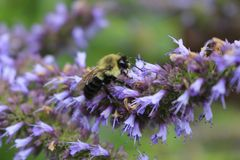 Image of giant Anise hyssop Agastache foeniculum in a summer garden.  royalty free stock photography