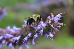Image of giant Anise hyssop Agastache foeniculum in a summer garden. royalty free stock image