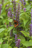 Anise hyssop. Image of giant Anise hyssop Agastache foeniculumand Small Tortoiseshell in a summer garden stock images