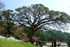 Large Fanning Tree at Sri Lankan Temple. An image of an giant old growth tree in the outside complex of the Temple of the Tooth in Kandy Sri Lanka with wide royalty free stock photo