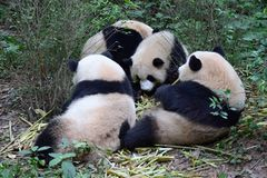 Image of Giant panda in the nature background. stock photo