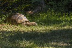 Image of giant tortoise while eating some grass. Image horizontal of giant tortoise while eating some grass stock photos