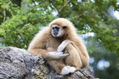 Image of a gibbon sitting. Stock Photo