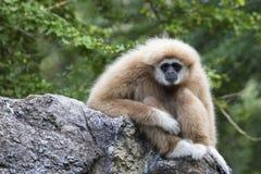 Image of a gibbon sitting. Stock Image