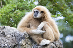 Image of a gibbon. Image of a gibbon sitting on rocks Stock Images