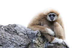 Image of a gibbon sitting on rocks. Image of a gibbon sitting on rocks on white background. Monkey Royalty Free Stock Photography