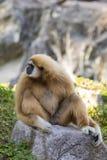 Image of a gibbon sitting on rocks. Stock Images