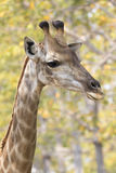 Image of a giraffe head on nature background. Royalty Free Stock Image