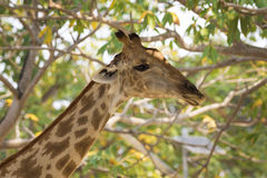 Image of a giraffe head on nature background. stock photography