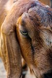 Image of goat face. Stock Photography