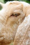 Image of goat face Royalty Free Stock Image