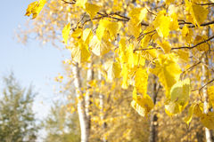 Image of golden leaves at autumn. Beautiful yellow Stock Images