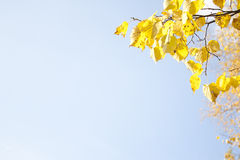 Image of golden leaves at autumn. Beautiful yellow Royalty Free Stock Photos