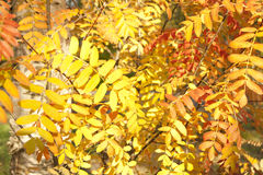 Image of golden leaves at autumn. Beautiful yellow Stock Photos