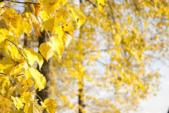 Image of golden leaves at autumn. Beautiful yellow Stock Photography