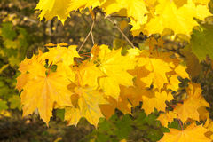 Image of golden leaves at autumn. Beautiful yellow Stock Image