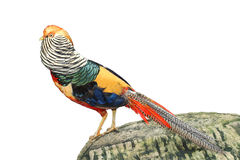 Image of golden pheasant Royalty Free Stock Images