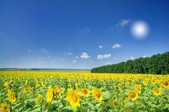 Image of golden plantation sunflowers. Stock Photo
