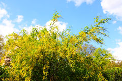 An image of a golden rain tree Stock Photography