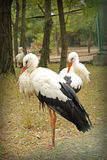 Image of graceful white storks at zoo Stock Images