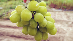 Image of Grape. There is beautiful grapes Stock Image
