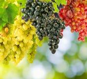 Image of grapes closeup Stock Image