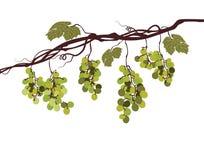 Image graphique de Sstylized d'une vigne avec des raisins roses illustration de vecteur