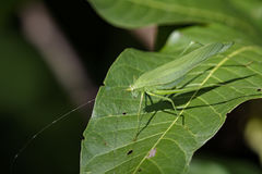 Image of a grasshoppers on green leaves. Insect Animal. Dark Tympanal Katydid., Holochlora nigrotympana Royalty Free Stock Photos