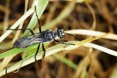 Image of Great Black Wasp Sphex pensylvanicus. Royalty Free Stock Photo