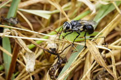 Image of Great Black Wasp Sphex pensylvanicus Stock Photo