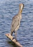 Photo of a great blue heron cleaning feathers Royalty Free Stock Images