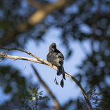 Image of Greater Racket-tailed Drongo. Stock Images