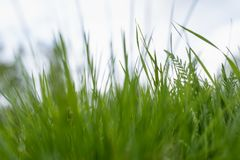 Green grass. the grass stirs from the wind. blurred background royalty free stock images