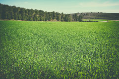 Image green grass field and trees in forest. image is retro toned Stock Photography