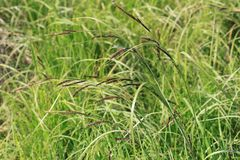 Image of green grass stems in the foreground with brown flowers against a background of blurred grass in a bright sunny day.  Stock Photos