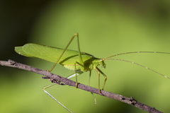Image of a green grasshopper on nature background. Royalty Free Stock Images