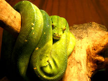 Green hidden boa on the branch Royalty Free Stock Photography