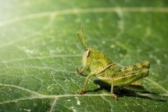 Image of Green little grasshopper on a green leaf. Insect. royalty free stock photography