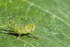 Image of Green little grasshopper on a green leaf. Insect. royalty free stock photos