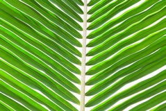 Green palm leaf for background. Stock Photos