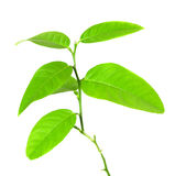 Image of green plant isolated over white Stock Photography